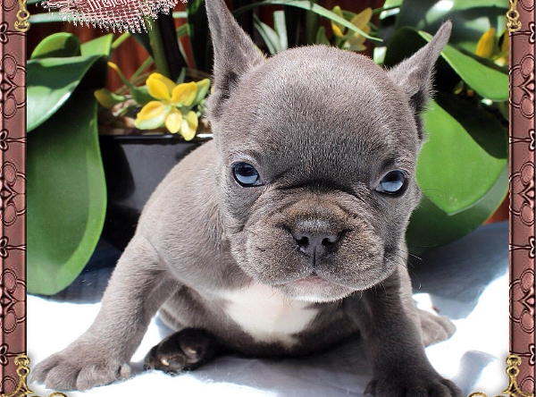 Silverblood Frenchies Blue and Tan French Bulldog puppies